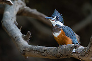 A ringed kingfisher, Magaceryle torquata, perching on a tree branch, Pantanal, Mato Grosso, Brazil.