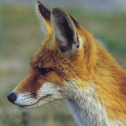 kringloop vos