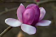 Magnolia 'Eleanor May' in The Valley Gardens, Surrey, UK