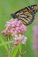 This is a Monarch Butterfly on pink flowers along the Chemung River in Corning, NY.