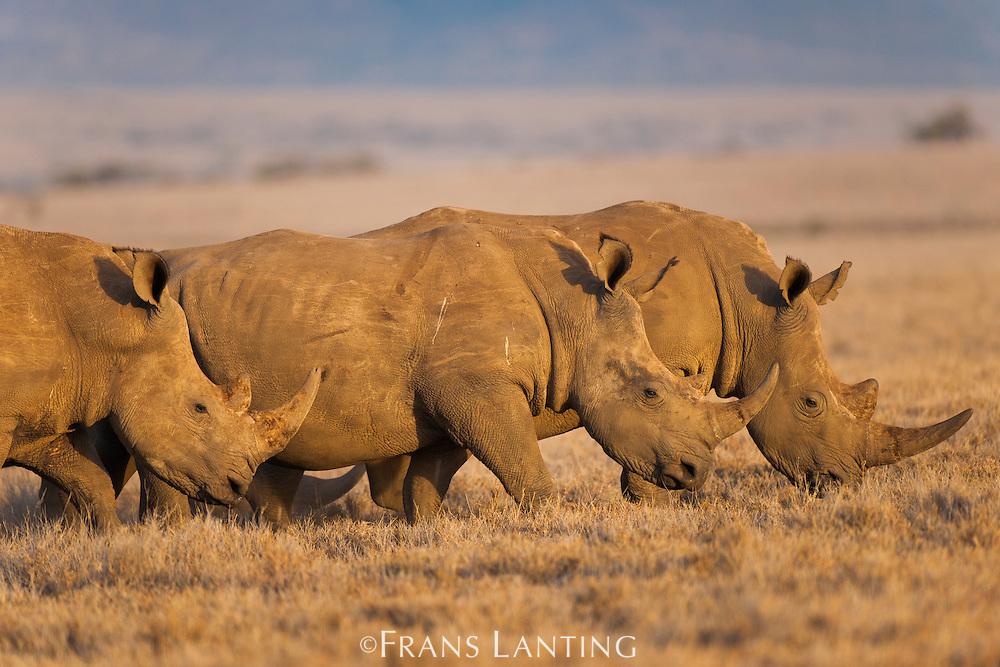 White rhinoceroses, Diceros bicornis, Lewa Wildlife Conservancy, Kenya