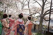 Japanese girls dressed as maiko (apprentice geisha), enjoying the sakura cherry blossom, in Kyoto, Japan on Sunday 16th April 2012.