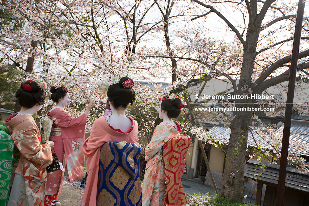 Japanese girls dressed as maiko (apprentice geisha), enjoying the sakura cherry blossom, in Kyoto, Japan on Sunday 16th April 2012.
