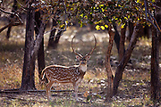 Spotted deer male stag, Axis axis, (Chital) in Ranthambhore National Park, Rajasthan, Northern India