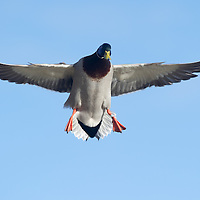 Waterfowl Photographs
