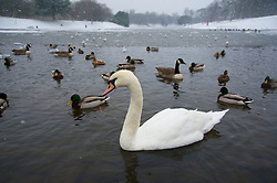 LIVERPOOL, ENGLAND - Friday, January 18, 2013: A swan and ducks look for food from visitors in Sefton Park's partly frozen Boating Lake during the first snow fall of the winter in South Liverpool's Victorian Park. (Pic by David Rawcliffe/Propaganda)