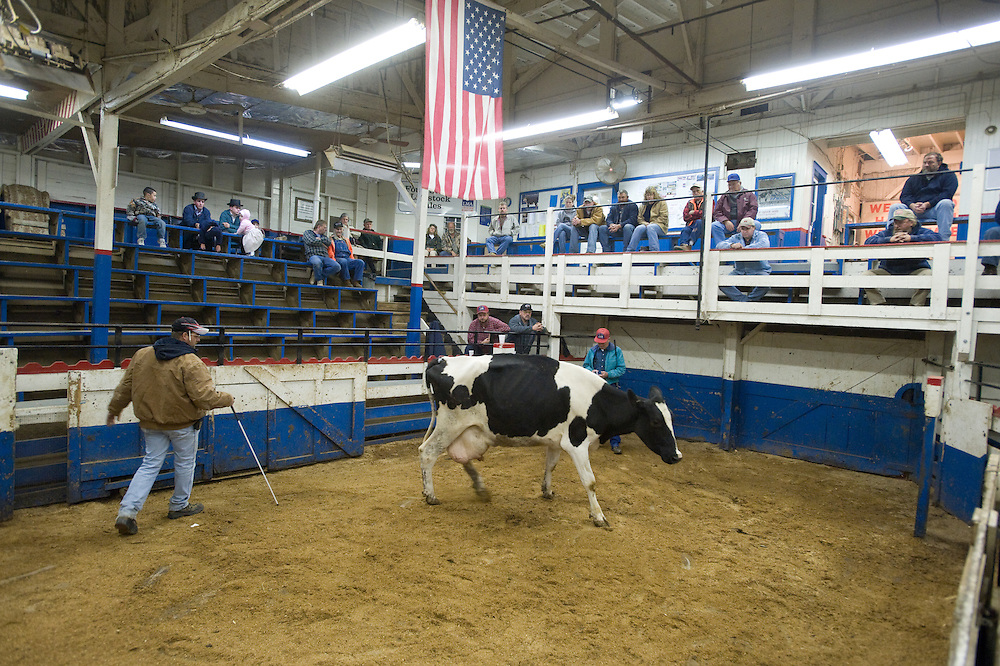 Man in pen with a cow at the Four States Livestock Auction, Hagerstown Maryland