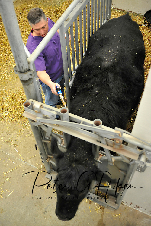 USA Today -- Dr. Dan Thomson a professor of veterinary science at Kansas State University, prepares to vaccinate a cow with the Epitopix vaccine, which lowers the chance of E. coli O157:H7 in cattle at the Center of Veterinary Science in Manhattan, Kansas.