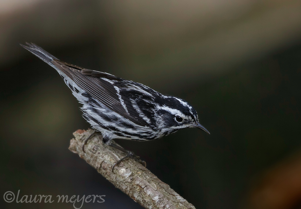 Black and White Warbler on branch with dark background