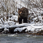 Yellowstone Grizzly Bear on a snowy riverbank. Soda Butte Creek, Northern Yellowstone