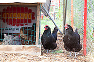 Naomi's Organic Farm Supply is a family-owned shop with a wide range of organic products including: soil amendments and fertilizer, seeds, straw, hay, compost, potting soils, livestock feeds, salts, supplements, chicken supplies, pet foods, hand tools & lots of books.  The resident chickens.