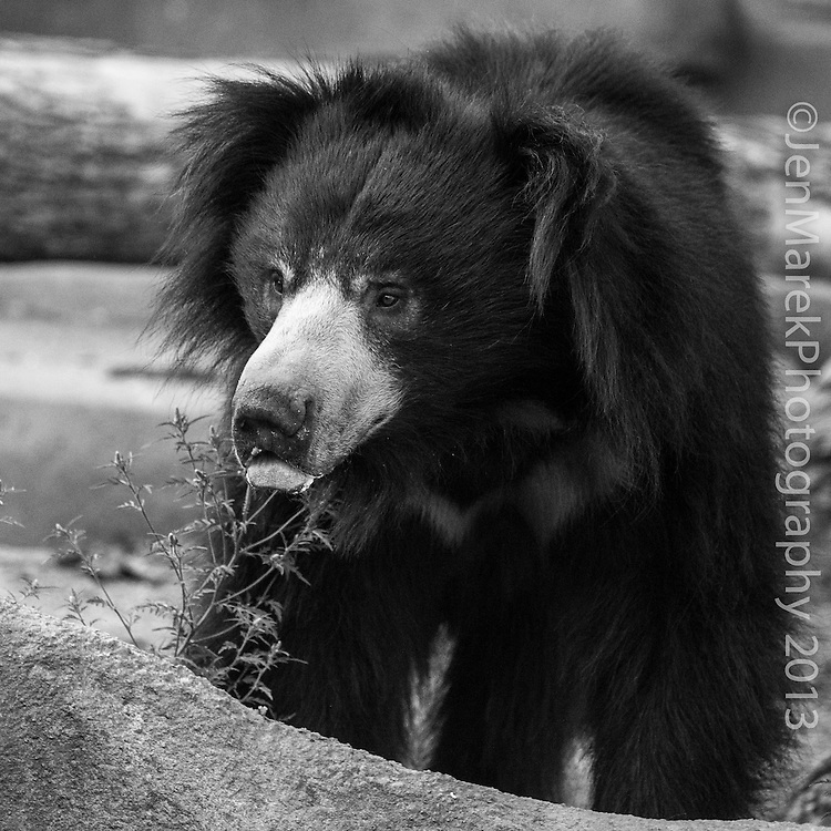 Soul Survival: Sloth Bear (Scientific name: Melursus ursinus)<br />