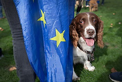 """© Licensed to London News Pictures. 07/10/2018. London, UK. Biscuit the English Springer Spaniel stands with her pro-remain owner during a rally in Parliament Square to demand a """"People's Vote"""" on the final Brexit agreement.  Photo credit: Peter Macdiarmid/LNP"""