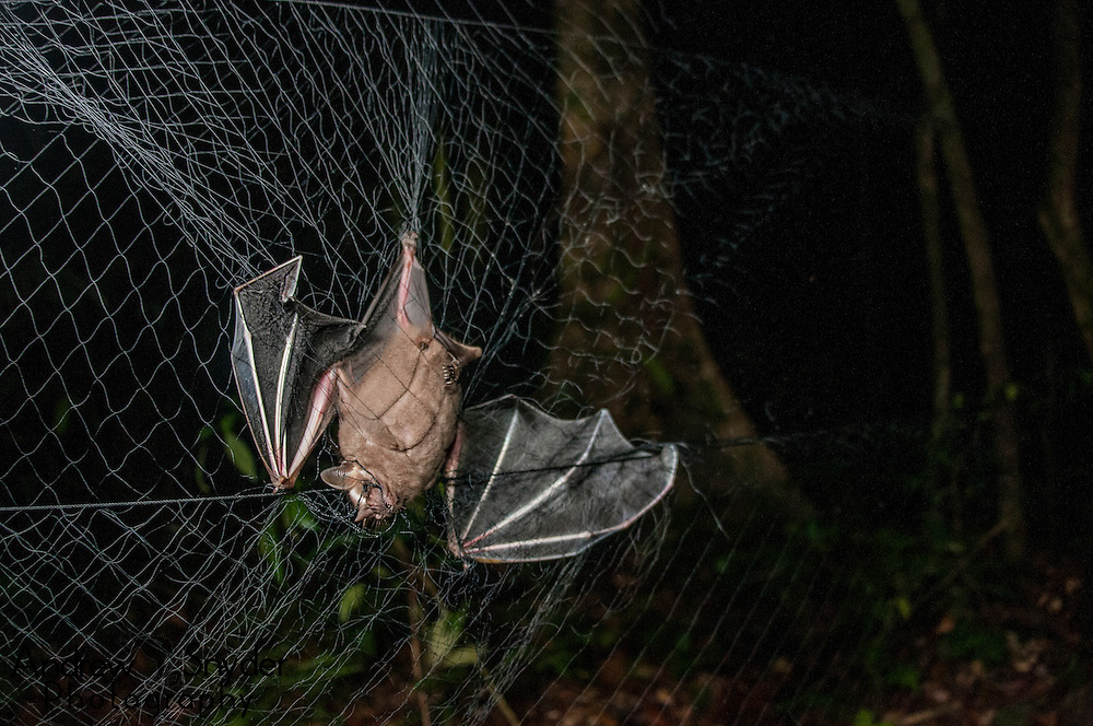 A great fruit eating bat (Artibeus lituratus) caught in a mist net during biodiversity surveys in Surama, Guyana.