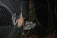 A great fruit eating bat (Artibeus lituratus) caught in a mist net during biodiversity surveys in Surama, Guyana.