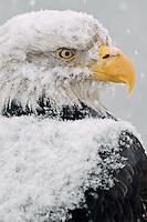 Bald eagle sitting during heavy snowfall (Haliaeetus leucocephalus); Homer Alaska
