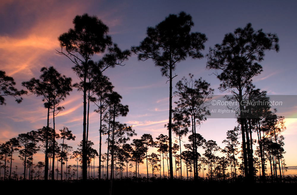 Wisps of cloud counterpoint the iconic slash pines of the Florida Everglades at sunrise