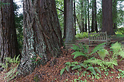 Redwood Grove. Finley Botanical Gardens, Berkeley, California