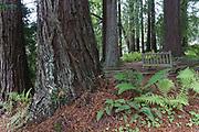 Redwood Grove. Finley Botanical Gardens, Berkeley, California