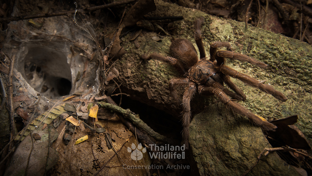 Tarantula species (Cyriopagogus sp.) from Kaeng Krachan national park, Thailand