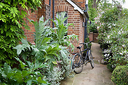 The passageway from front to rear garden with Cardoons - Cynara cardunculus in large terracotta pots in the foreground. Rosa 'Cécile Brünner' and Solanum laxum 'Album' on fence
