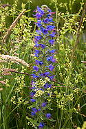 Europa, Deutschland, Nordrhein-Westfalen, Troisdorf, Gewoehnlicher Natternkopf (lat. Echium vulgare) im Herfeldmoor der Wahner Heide. - <br /> <br /> Europe, Germany, Troisdorf, North Rhine-Westphalia, viper's bugloss (lat.  Echium vulgare) in the Herfeld bog in the Wahner Heath.