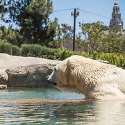 July 13-16, 2016, San Diego, CA:<br /> Polar Bear at the San Diego Zoo during a trip to San Diego, California Wednesday, July 13 to Saturday, July 16, 2016. <br /> (Photos by Billie Weiss)