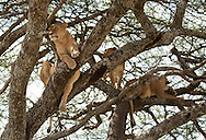 A trio of lions sit in a tree in the Serengeti National Park. The park is a UNESCO World Heritage Site in Tanzania.