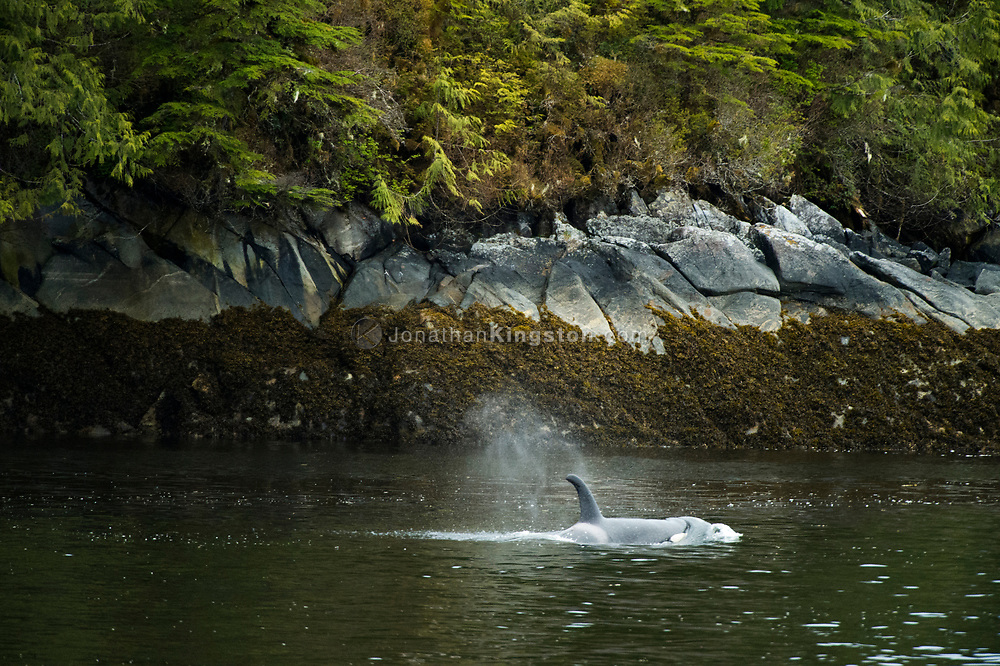 A killer whale (Orcinus orca) in the Inside Passage of BC.