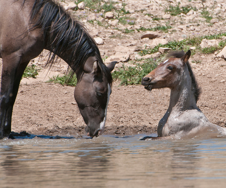 A mare and her foal drinking and cooling off in a pond in the Pryor Mountains, Montana