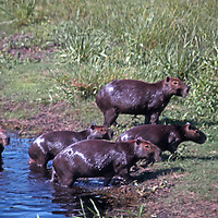 South America, Brazil, Pantanal. A family of Capybara, the world's largest rodent, coming ashore from a lake in the Pantanal.