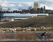 A biker rides by cows at The University of Idaho on the Bill Chipman Palouse Trail that connects Moscow, Idaho to Pullman, Wash. where Washington State University is located. (Rajah Bose for The New York Times)