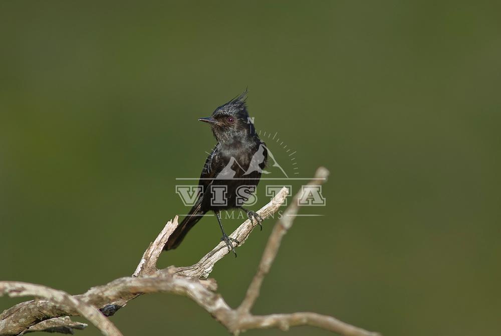 """Cardeal-negro """"Cardinalis cardinalis"""", Guaritas, Cacapava do Sul, Rio Grande do Sul, Brasil, foto de Ze Paiva/Vista Imagens"""