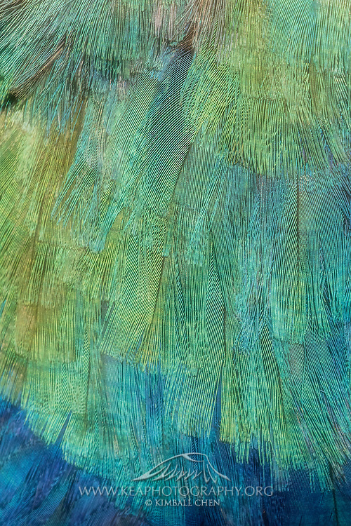 Fine detail of the beautiful iridescent feathers from New Zealand's endangered takahe.