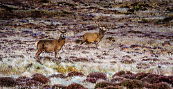 Stags on the hillside near Garrynahine, Isle of Lewis, Outer Hebrides, Scotland<br /> <br /> (c) Andrew Wilson | Edinburgh Elite media