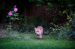 Red fox, Ingarsby Drive, Leicester.