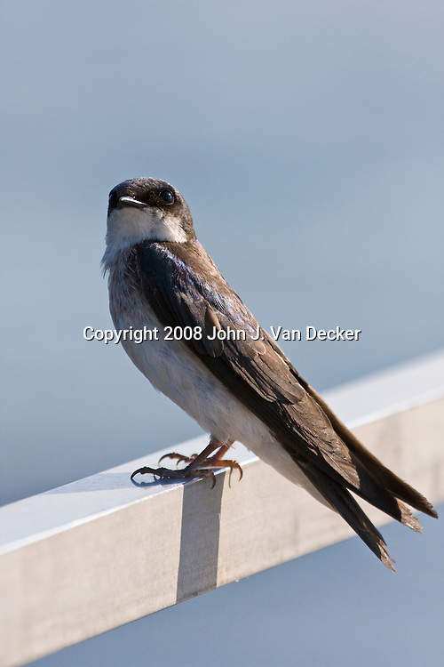 Tree Swallow perched on a railing