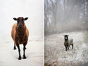 Nutmeg & Oreo the Icelandic sheep from the series Cluck! Woof! Baa! The Secret Language of Animals..