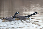 A Canada goose chases away another another adult goose in a pond.