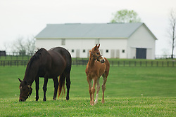 Crosswinds with her Curlin colt. <br /> Hinkle Farm is home to top stakes producing mares including Derby 142 favorite Nyquist and 2016 Ashland Stakes Weep No More, Wednesday, April 27, 2016 at Hinkle Farm in Paris.