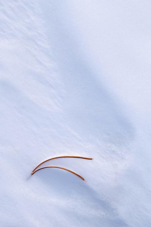 Pine needle clustre in snow drift. Kananaskis Country, Alberta