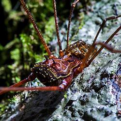 """""""Opilião (Aracnideo) fotografado em Cariacica, Espírito Santo -  Sudeste do Brasil. Bioma Mata Atlântica. Registro feito em 2012.<br /> <br /> <br /> <br /> ENGLISH: Opiliones photographed in the city of Cariacica, Espírito Santo - Southeast of Brazil. Atlantic Forest Biome. Picture made in 2012."""""""