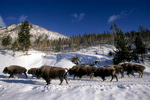 Bison, (Bison bison) Yellowstone National Park. Using snowmobile trail.