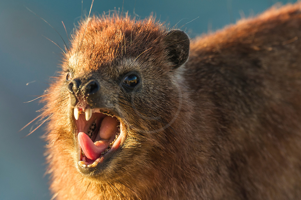Rock Hyrax yawning while sunning on the rocks; Tsitsikamma Marine Protected Area; Garden Route National Park; South Africa