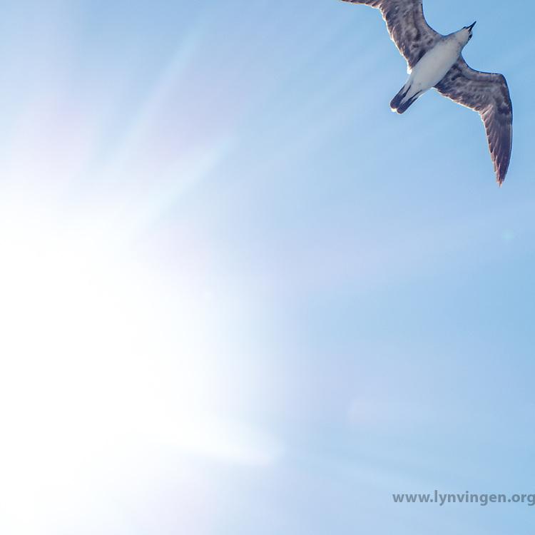 Fulmar in flight. Cost Rica