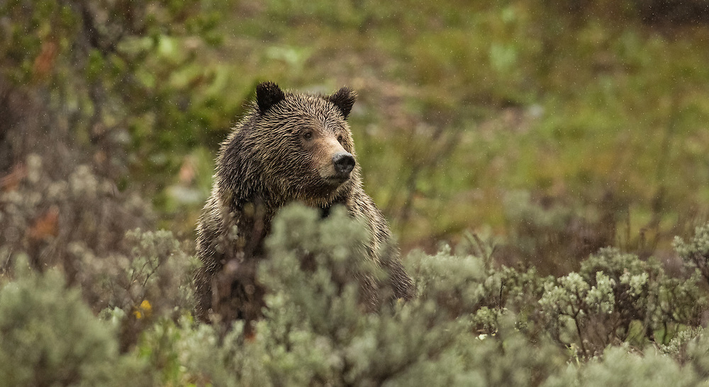 Relaxing during a rainstorm, Blondie, a young grizzly, curiously gazes at her admirers along the roadside in Grand Teton National Park.
