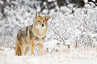 Coyote in fresh snow in Banff National Park, Alberta, Canada