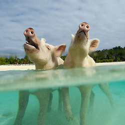 Feral pigs wait for a handout in the turquoise waters of Big Major Cay in the Bahamas.