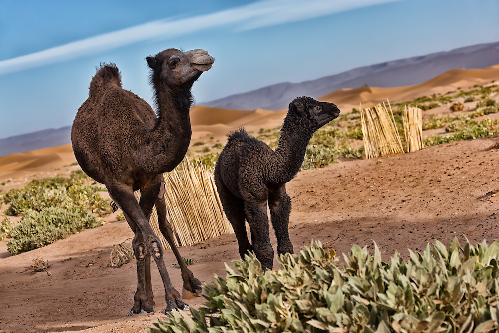 Dromedary mother with cub in the desert.