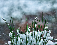 Chives out my window during a winter snowstorm. Image taken with a Fuji X-T2 camera and 100-400 mm lens (ISO 640, 143 mm, f/5.6, 1/400 sec).